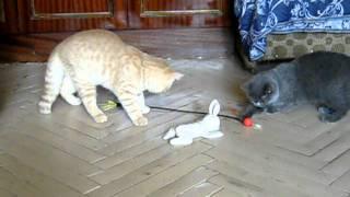 спб британские котята продаются