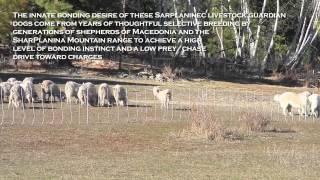 Sarplaninec Livestock Guardian Dogs Bonding With Angora Goats - Garmin Alpha 100 Proximity Alarms