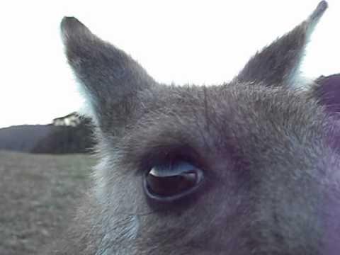 Australian Beach Kangaroo Birthday Greetings!