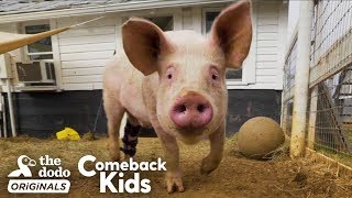 People Find Pig In Hurricane And Make Him Their Son | The Dodo Comeback Kids