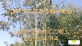 天王寺動物園で暮らしているコアラのそら コアラはコアラらしくプロジェ...