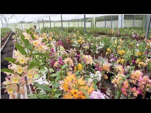 Clique e veja o vídeo Cultivo de Orquídeas - Venda de Orquídeas