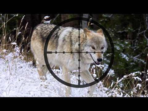 Wyoming Wolves In The Crosshairs