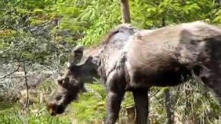 Moose In Algonquin Park 1 Of 3