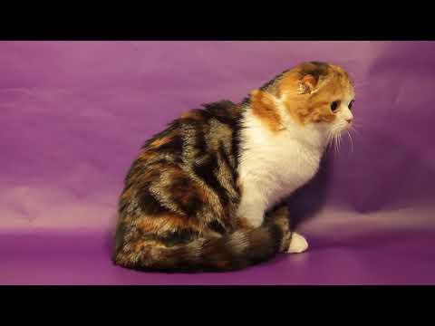 Britney Scottish Fold cat for sale