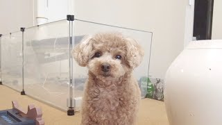 Our dog doesn't like his Mum going out and it's written all over his face lol [Toy Poodle]