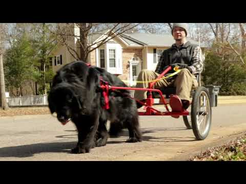 Newfoundland Dog Pulling Owner on COOLEST Riding Dog Cart Ever!