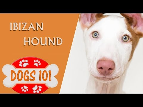 Dogs 101 - IBIZAN HOUND - Top Dog Facts About the Ibizan Hound