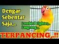 Dengarkan Suara Ngekeknya Sebentar Saja Lovebird Fighter Bisa Terpancing Emosi  Mp3 - Mp4 Download