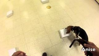 A Beagle Passes Her First Nacsw Odor Test