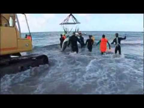 TV NZE Coastwatch Mass stranding of Long finned Pilot whales with Dr Ingrid N. Visser