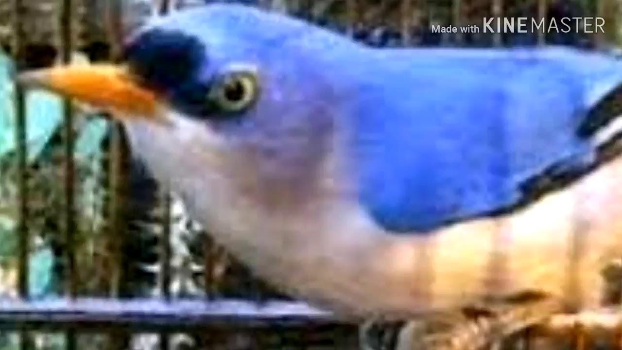 Cara Merawat Burung Rambatan Untuk Dijadikan Masteran Youtube