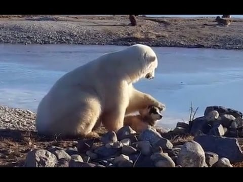 Wild Polar Bear Pets Dog