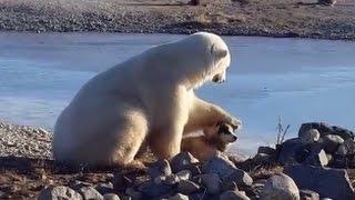 Repeat youtube video Wild Polar Bear Pets Dog