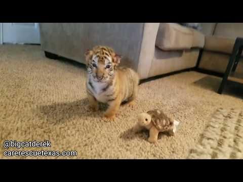 BABY TIGERS! | WATC 520