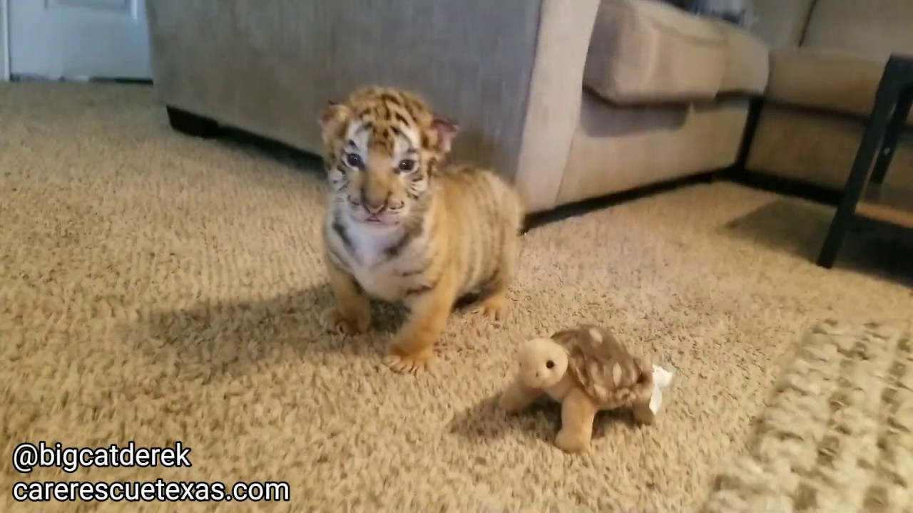 Pink Idiots Try To Domesticate Tigers and Trained By a Dog?
