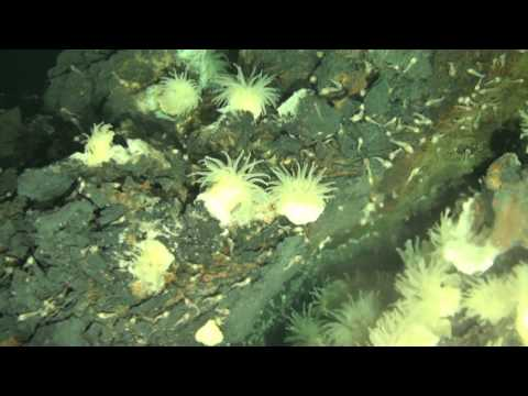 New species of marine life at the world's deepest known volcanic vents