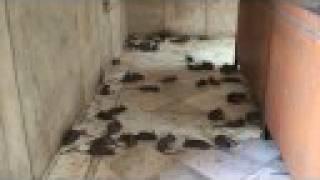 Rat Temple, Shree Karni Mata Temple
