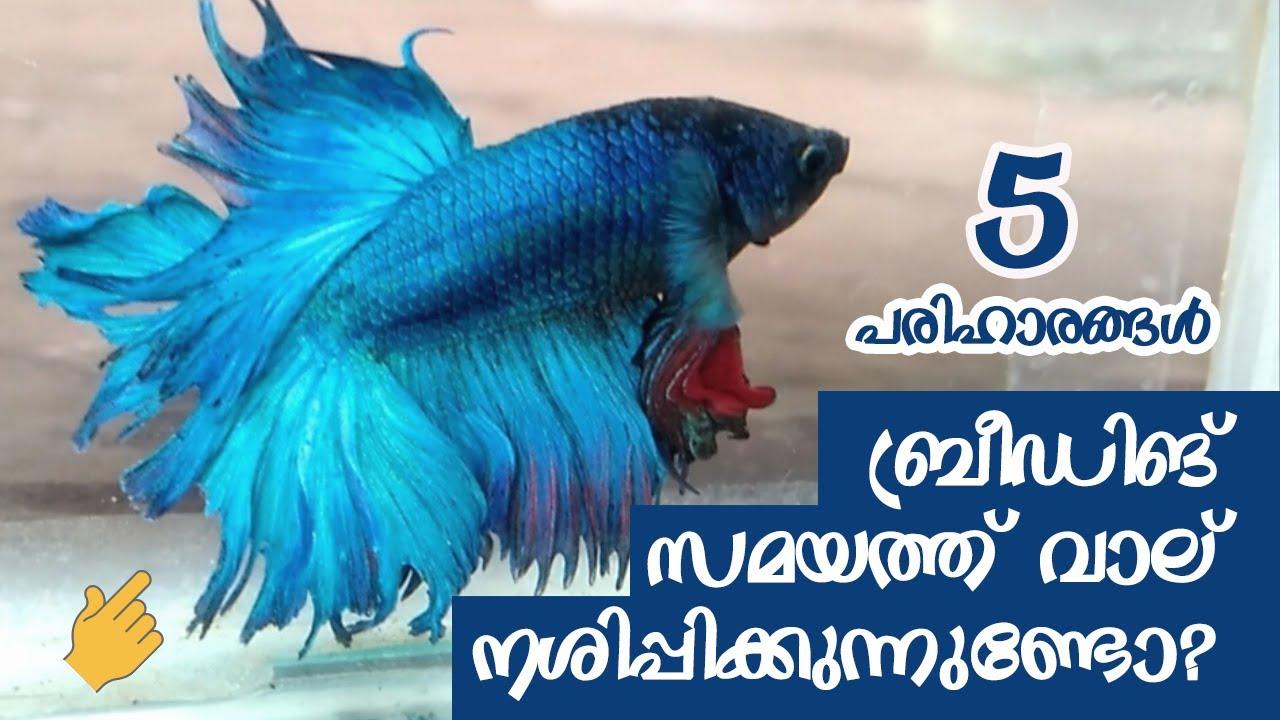 Betta Fish Breeding സമയത്ത് വാല് നശിപ്പിക്കുന്നുണ്ടോ??   Betta Fish tail Damage in Malayalam