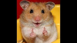 Смешные хомяки | Подборка видео приколов про хомячков