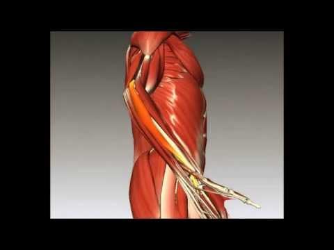 Músculos del antebrazo - YouTube