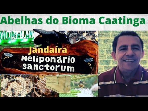 Jandaíra (Melipona subnitida) na imburana  - Ponta do Mel-RN