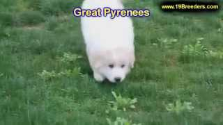 Great Pyrenees, Puppies, For, Sale, in, Mobile, County, Alabama, AL, Huntsville, Morgan, Calhoun, Et