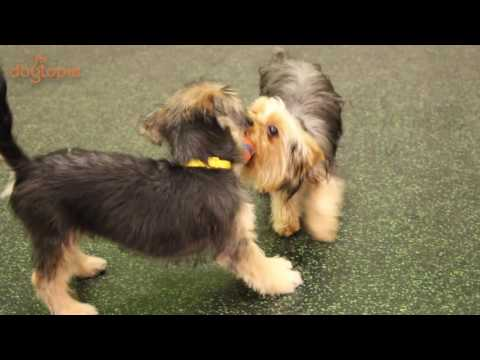 Dogs of Daycare: Cute yorkie puppy comes to play at dog daycare!