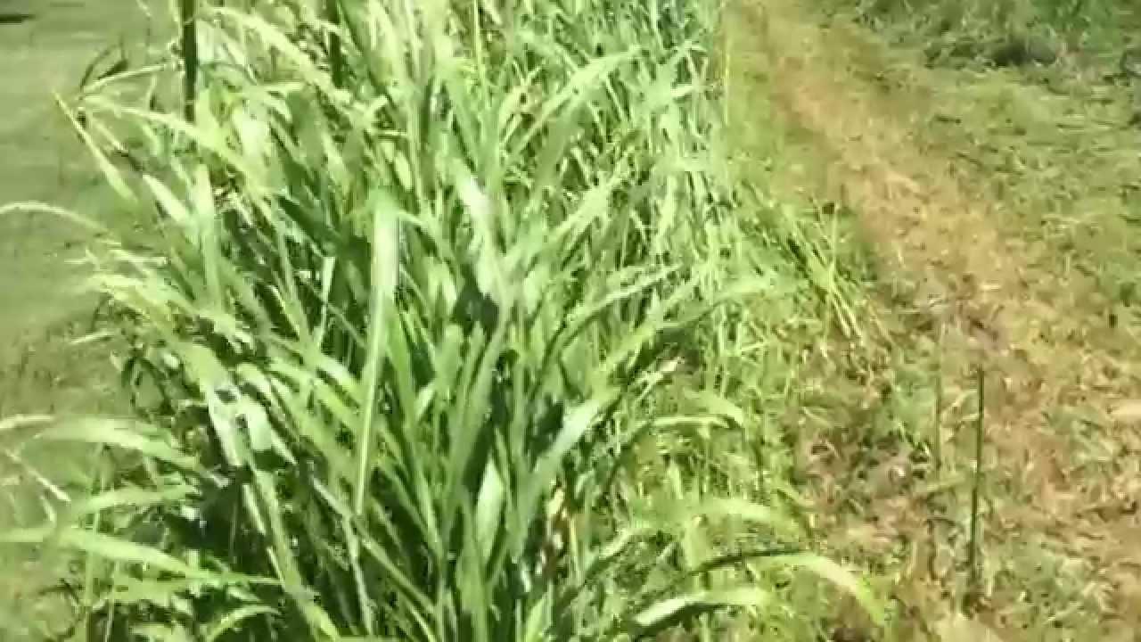 Ferris Zero Turn Is600z Mowing Tall Johnson Grass Youtube