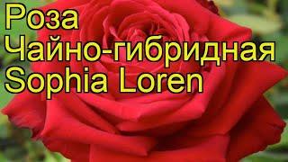 Роза чайно-гибридная Софи Лорен. Краткий обзор, описание характеристик Sophia Loren