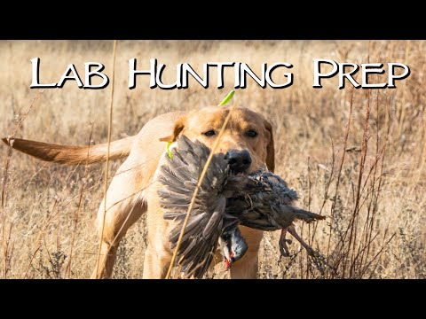 Hunting With Your Lab - Gun Dog Practice Hunt