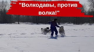"""""""Волкодавы против волков"""". Еще один уникальный эксперимент со шкурой волка."""