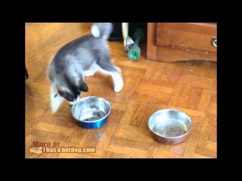 HotDog : Husky Puppy vs Bowl
