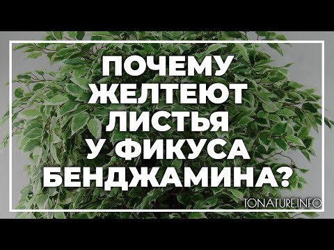 Почему желтеют листья у фикуса Бенджамина? | toNature.Info