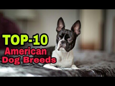 TOP-10 American Dog Breed / American Popular dog breeds / Aryan Dog Club  Aryandogclub