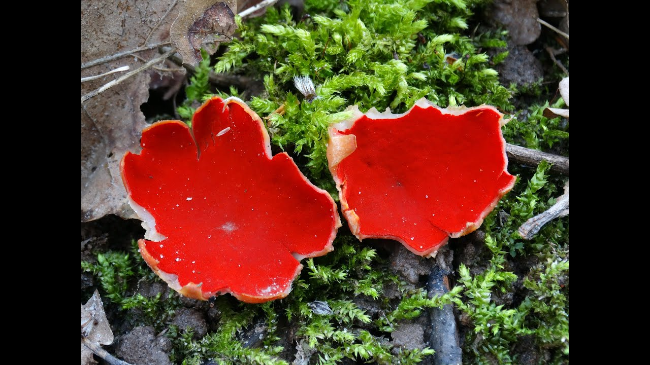 Где растут грибы сморчки - YouTube