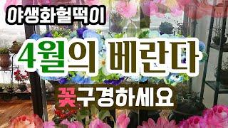 4월의 베란다정원꽃구경오세요~꽃들에게 좋은기운받고 행복…