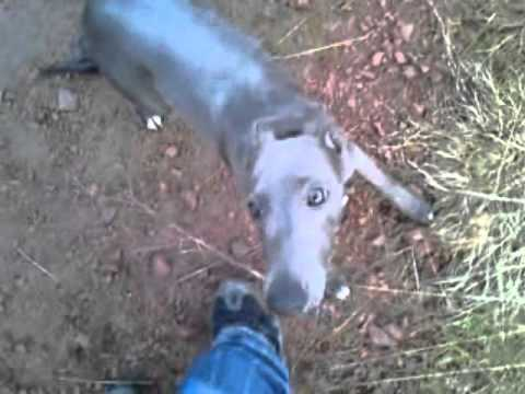 whippet pup off lead