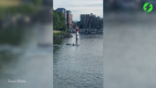 Whales Spotted Entering Victoria Harbour