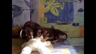 Купить собаку той-терьер. Русский той, РКФ.8-905-546-66-92