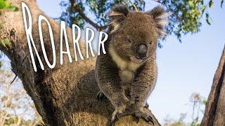 Jak ryczy miś koala? [#33]