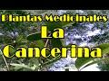 Medicinas naturales , la cancerina y sus propiedades