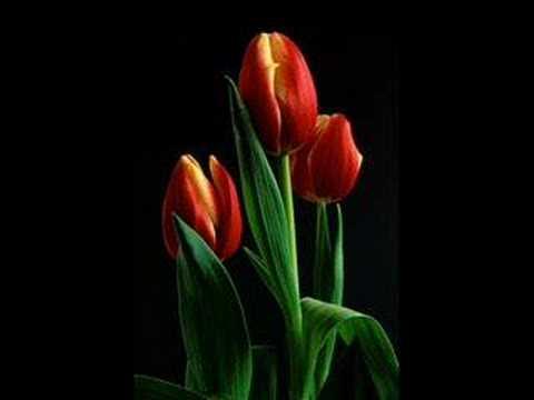 Mieczyslaw Fogg - Tulipany