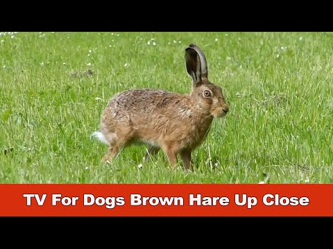tv-for-dogs-brown-hare-up-close