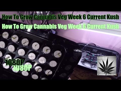 How To Grow Cannabis Veg Week 6 Current Kush 1080P