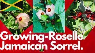 Growing Jamaican-Sorrel -Roselle  | Hibiscus-sabdariffa