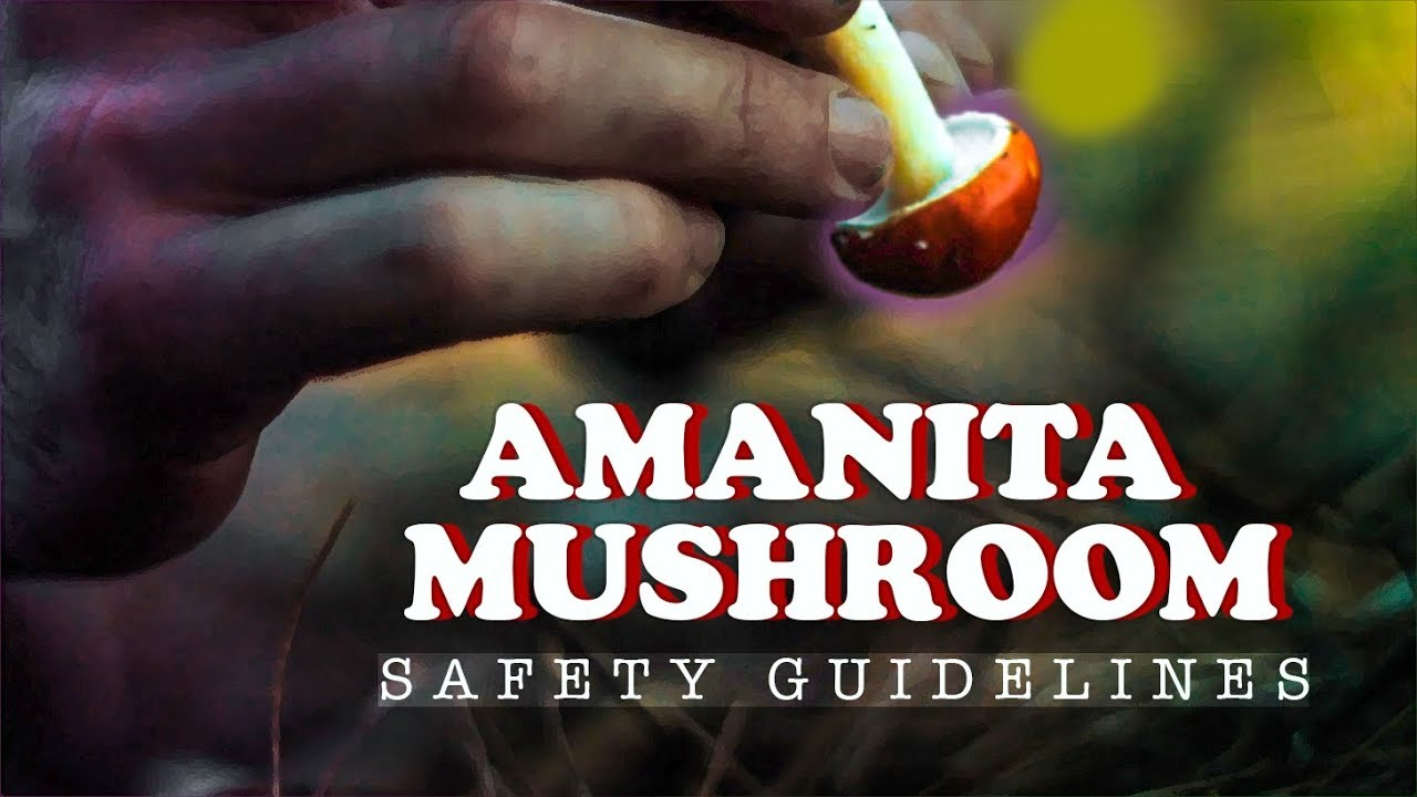"""Download AMANITA MUSCARIA Safety Guide   Picking """"Fly Agaric"""" Mushroom"""
