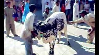 strongest cow [ammad bj]