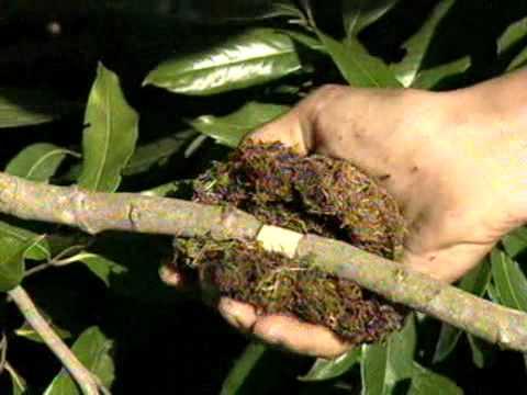 cómo reproducir los árboles de lichi: por semilla, por esqueje y por acodo aéreo - 2