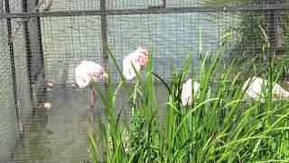 Фламинго в минском зоопарке.